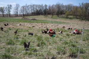 Hens under the sun