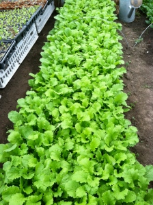 1 more week to mustard greens!