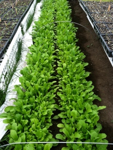 One more week to Arugula!