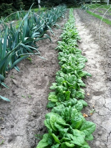 Spinach this week!